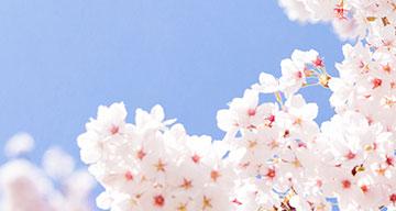 여의도 벚꽃